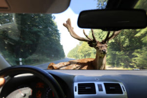 Deer jumping in front of car causing sudden emergency accident.